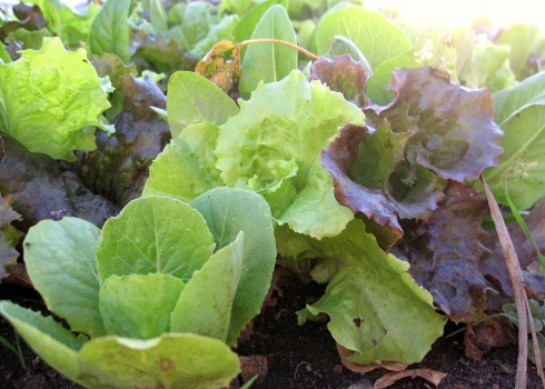 A photo of lettuce in the fall