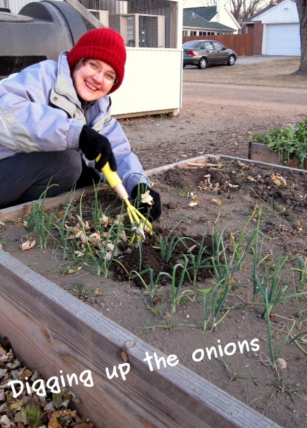 A photo of Deanne digging up the onions