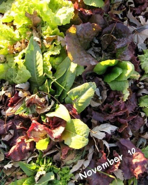 A photo of lettuce on Nov 10
