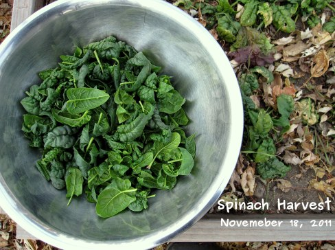A photo of the spinach harvest