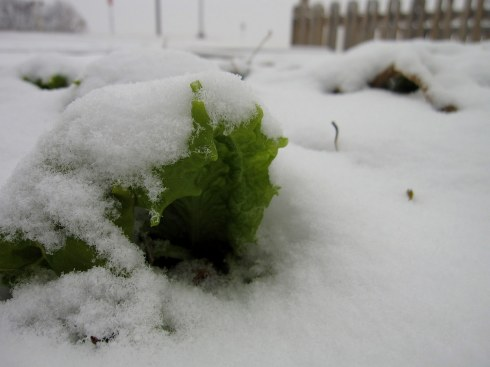 A photo of our snowy lettuce
