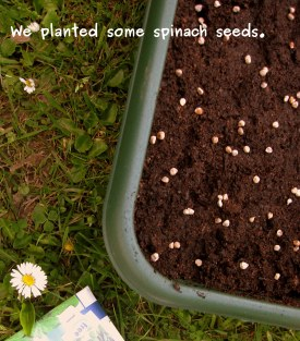 A photo of the spinach seeds