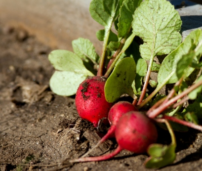 A photo of the radishes from our garden