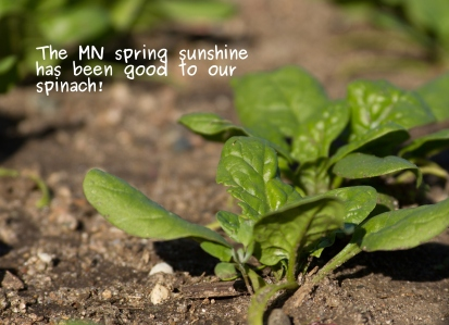 A photo of the spinach in our garden