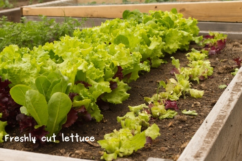 A photo of the freshly cut lettuce