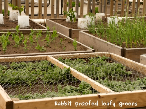 A photo of the rabbit proof spinach