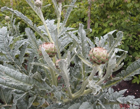Photo of artichoke plant