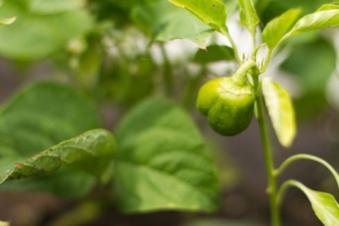 A photo of a pepper on the vine