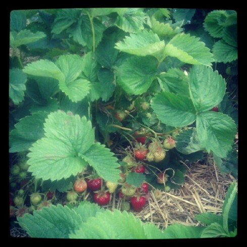 A photo of the strawberry plants