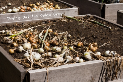 Photo of onions drying