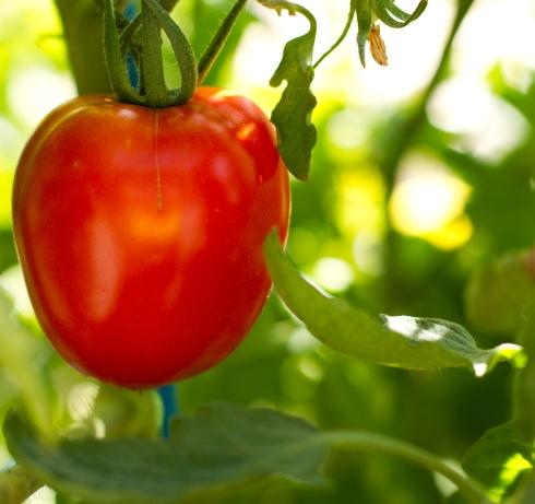 photo of a tomato