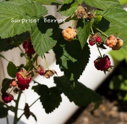 Photo of rasberries
