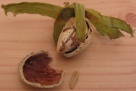 A photo of a cracked open cobnut