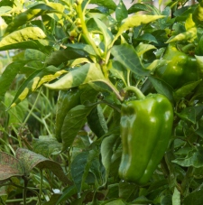 Photo of pepper plant