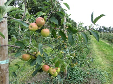 a photo of the apples