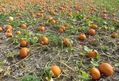a photo of pumpkins