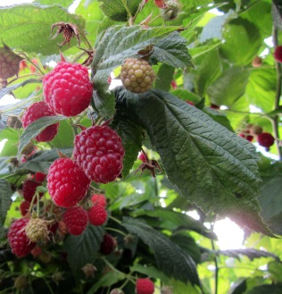 a photo of raspberries