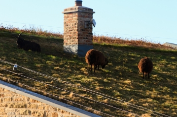 Photo of Sheep on a Roof