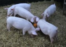 A photo of pigs playing pumpkin