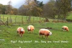 Photo of Texel Sheep near Littletown Farm