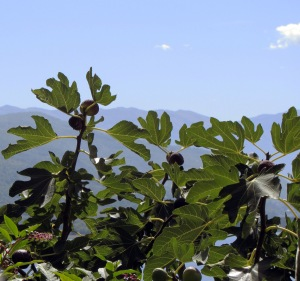 A photo of a fig tree