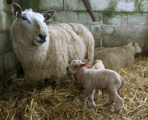 A photo of a newborn lamb