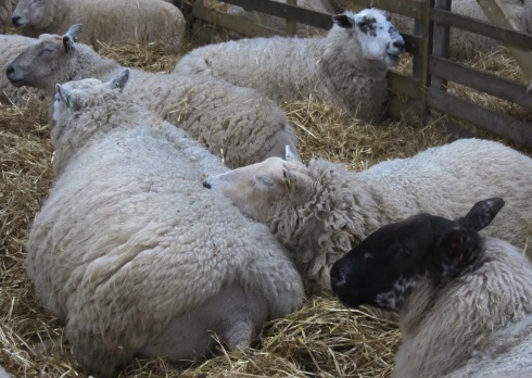 A photo of the ewes