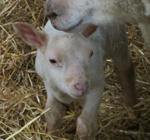 A photo of a lamb