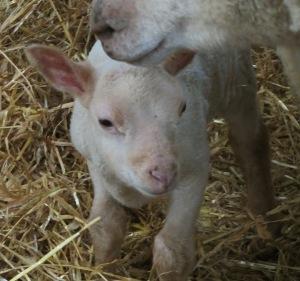 A photo of a lamb