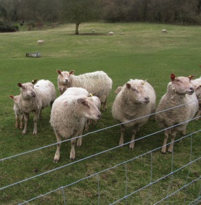 A photo of curious sheep