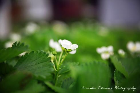 photo of strawberry plants