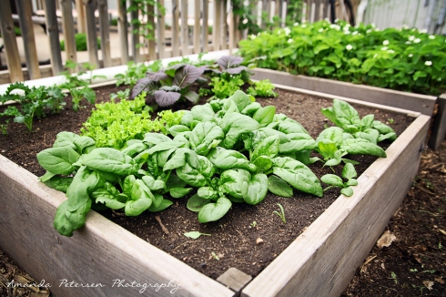 Photo of raised bed-spinach