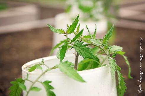 Photo of tomato plants
