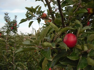 Photo of Apples in the Orchard