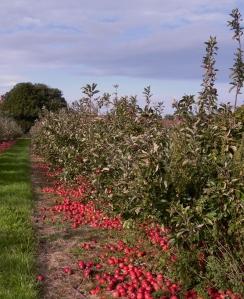 Photo of Fallen Apples