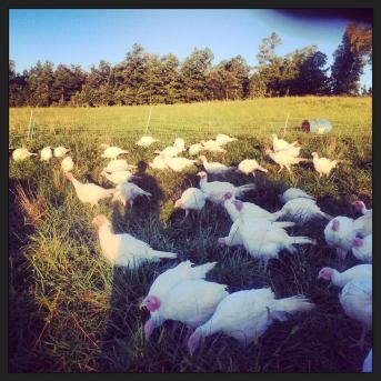 Photo of turkeys from Falling Sky Farms