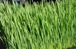 Photo of Wheatgrass